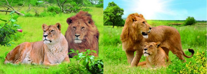 3D Picture 90--Lion and Lioness