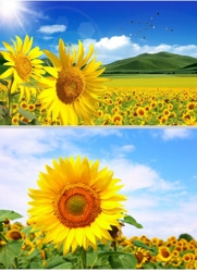 3D Picture 9603--Sunflowers