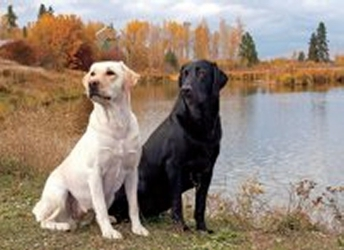 3D Picture 9600--Black & Yellow Labs