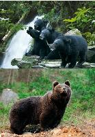 3D Picture 9612--3 Black Bears/Bear