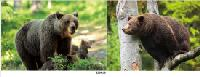 3D Picture 9619--Brown Bears