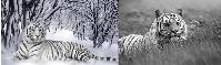3D picture 9631--Black and White Tiger
