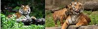3D Picture 9632--Orange Tiger/Tiger and Baby