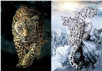 3D Picture 9716--Cheetah/Snowy Leopards